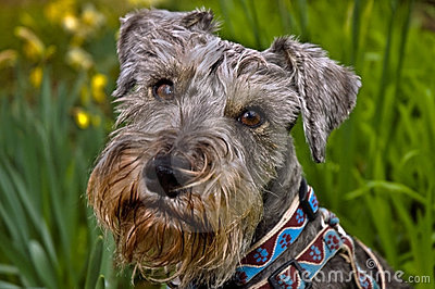 Miniature schnauzer dog in spring setting
