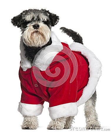 Miniature Schnauzer wearing Santa outfit