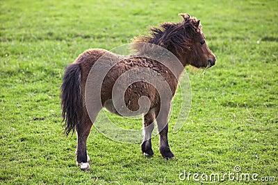 Miniature shetland pony horse foal
