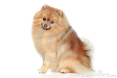 Miniature Spitz dog