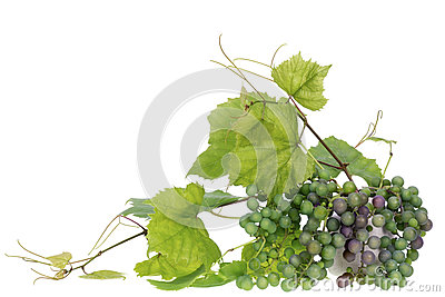 Minimalistic  bouquet- Jgreen grapes  branches