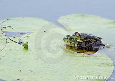 Mink Frogs in Amplexus