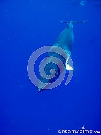 A Minke whale in crystal clear blue water