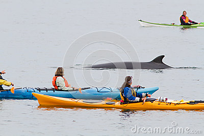 Minke whale and kayaks