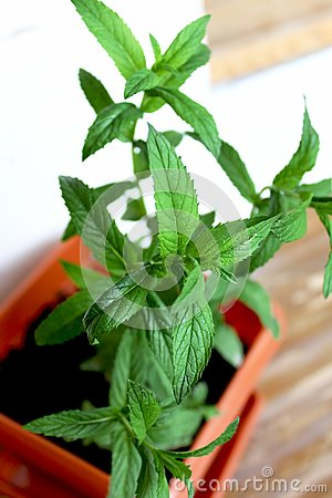 Mint grown in a pot