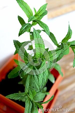Mint grown in a pot