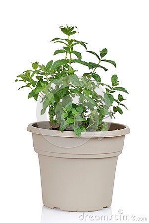 Mint herb in a pot