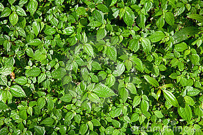 Mint leaf forest