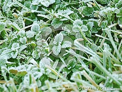 Mint leafs
