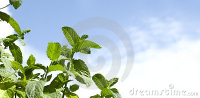 Mint Leaves on Blue Sky