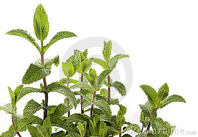 Mint Plant - spearmint