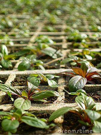 Free Mints In A Greenhouse Royalty Free Stock Photography - 4699707