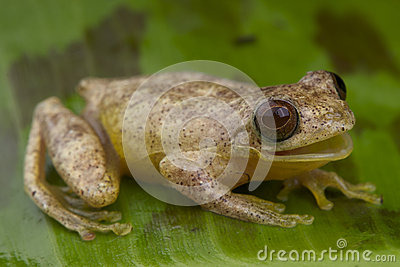 Minute tree frog calling