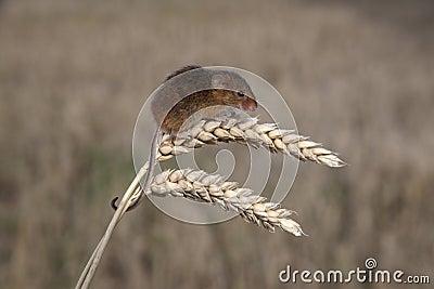 Ποντίκι συγκομιδών, minutus Micromys