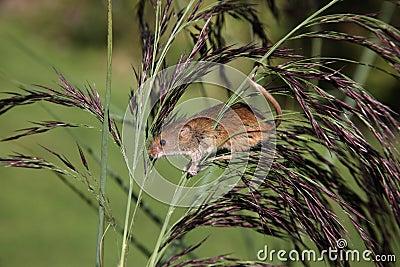 Мышь сбора, minutus Micromys