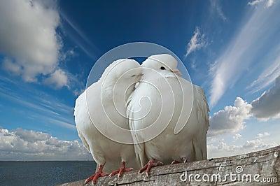 Miłość wihte gołębie