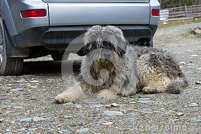 Mioritic romanian shepherd dog guarding a car