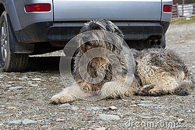 Mioritic romanian shepherd dog guarding a car