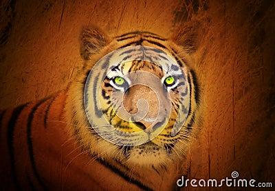 Mirada fija animal del tigre en el salvaje