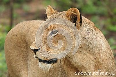Mirada fija de la leona