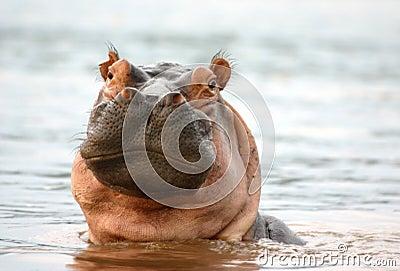 Mirada fija del hipopótamo