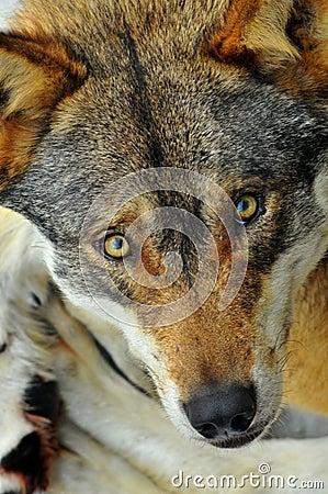 Mirada fija del lobo salvaje