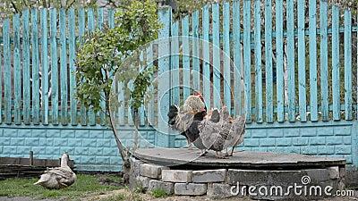 Mirada rústica, gallo y gallina almacen de metraje de vídeo