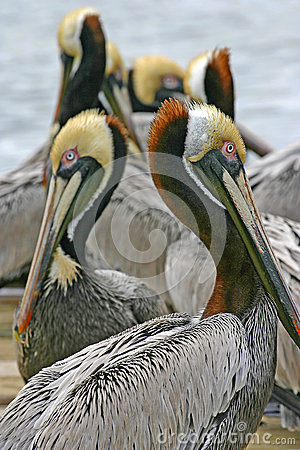 Mirrored Pelicans