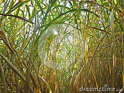 Miscanthus,switchgrass