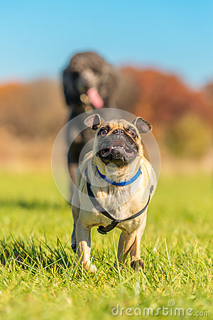 Free Mischievous Pug Being Chased Stock Images - 77003904