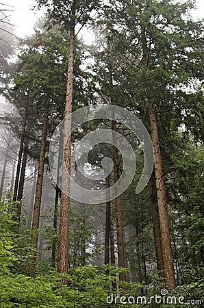 Mist through pine trees