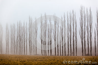 Mist Vertical Trees Line