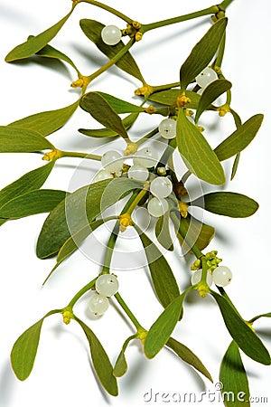 Free Mistletoe Royalty Free Stock Photo - 3929355