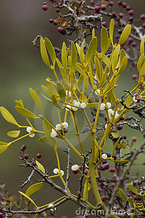Free Mistletoe - Viscum Album Growing On Hawthorn Stock Photo - 11230760