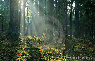 Misty coniferous stand of Bialowieza Forest