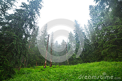 Misty forest in Tatra mountains