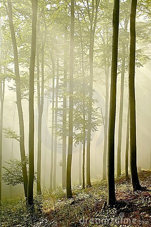 Free Misty Forest With Early Morning Sun Rays Royalty Free Stock Images - 9059299