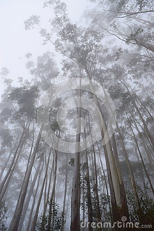 Free Misty Forest With Tall Trees And Infinite Sky - Mobile Screen Wallpaper Stock Images - 103546794