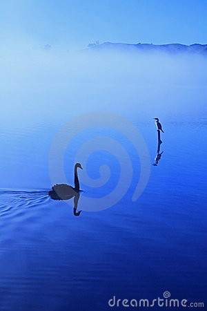 Misty lake with swan and cormorant