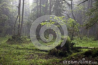 Misty morning in alder-carr stand