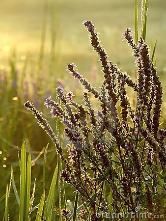 Free Misty Morning On A Meadow With Autumnal Plants Royalty Free Stock Photography - 7710057