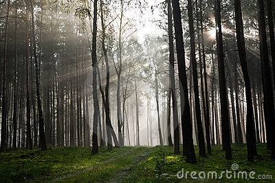 Misty old foggy forest