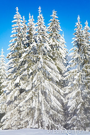 Misty winter fir forest view