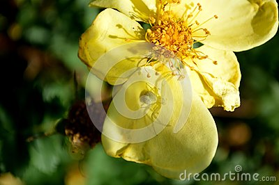 crab spider on cinquefoil