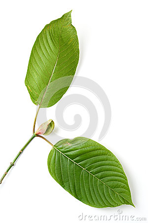 Kratom Effects Liver Corvallis