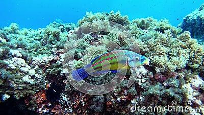 Mittelmeer-Meer bunt Rifffische schwimmen in der Nähe der Kamera stock footage
