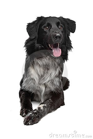 Mix border collie