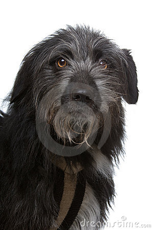 Mixed breed black dog