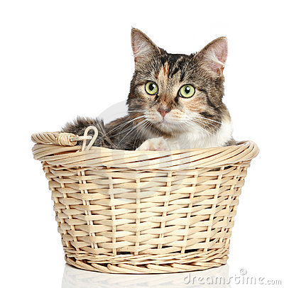 Mixed-breed cat in basket