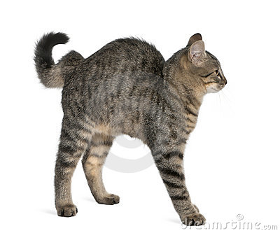 Mixed-breed cat, Felis catus, 6 months old